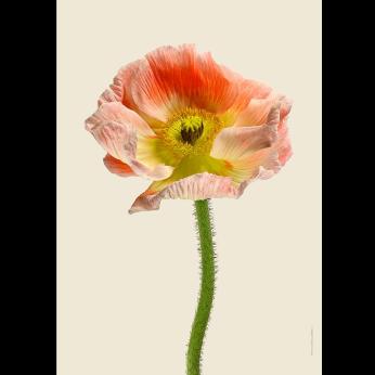 Floral prints - Poppies