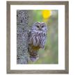 Owl Resting Branch