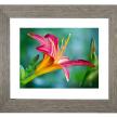 Pinkish Lily Flower